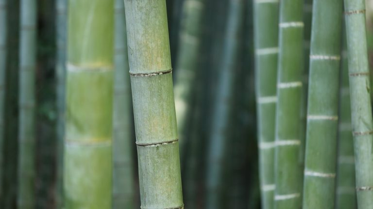 Species diversity: The spider that lives in the bamboo