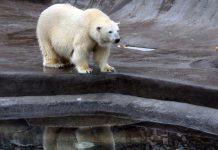 In the Moscow zoo will celebrate international polar bear day